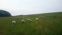 Foto Schafe auf dem Deich